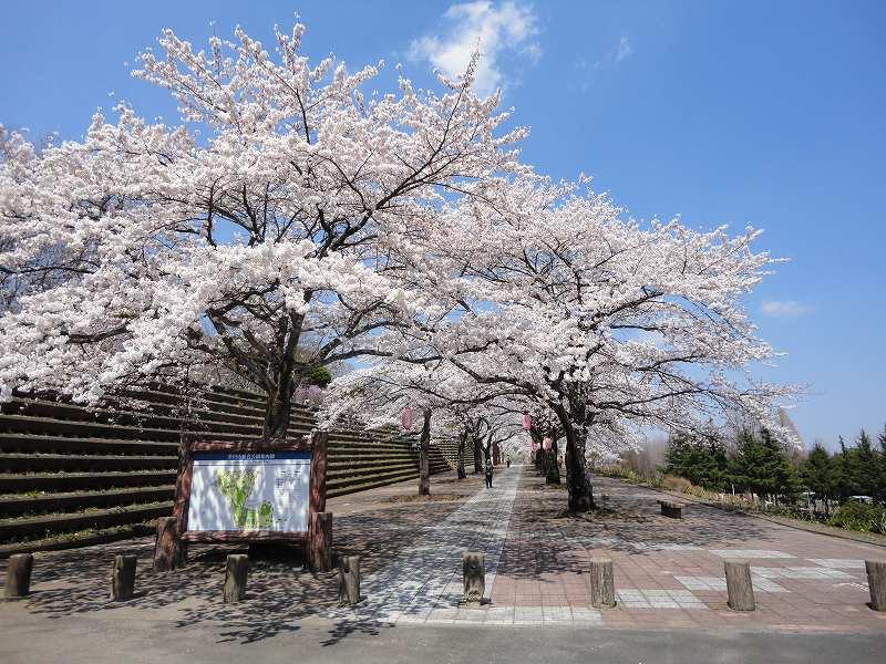 「渋川市総合公園」の「桜」は4/10~が見頃?