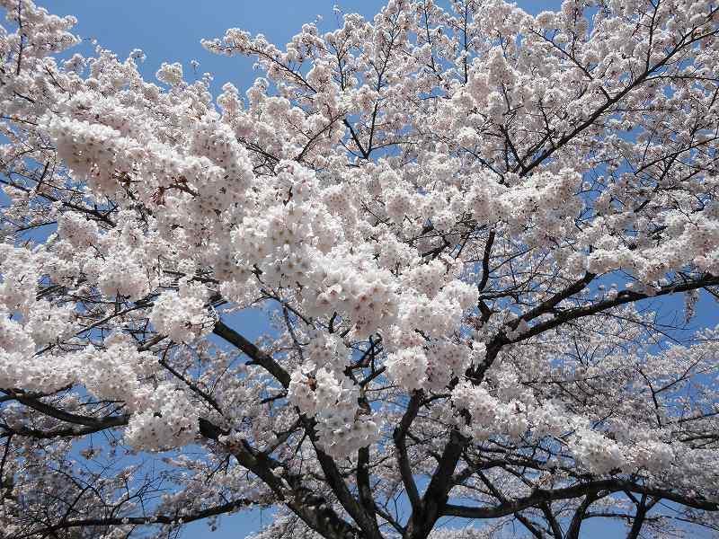 もうすぐ見頃!渋川市総合公園の「桜」