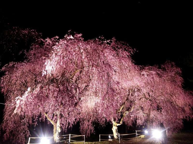 渋川市総合公園の「桜」見頃です!