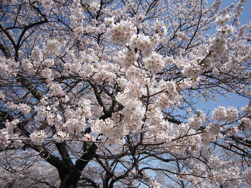 渋川市総合公園の「桜」  (4月1日更新)
